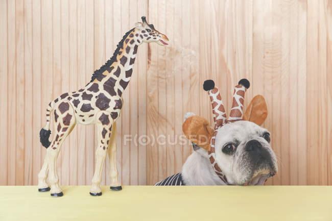 Bouledogue français port serre-tête girafe — Photo de stock