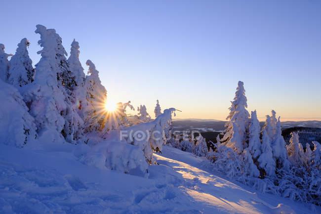 Sapins enneigés au lever du soleil — Photo de stock