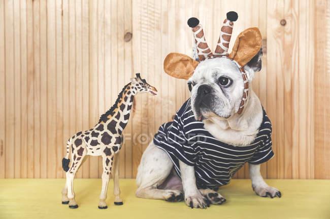 Bouledogue français avec bandeau girafe — Photo de stock