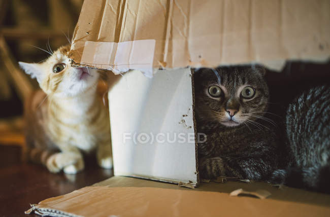 Cats playing with cardboard box — Stock Photo