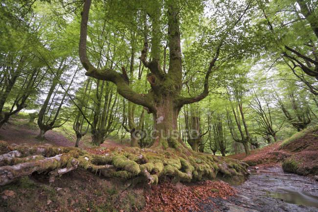 Испания, Страна Басков, природный парк Горбеа, лес Отаррета — стоковое фото