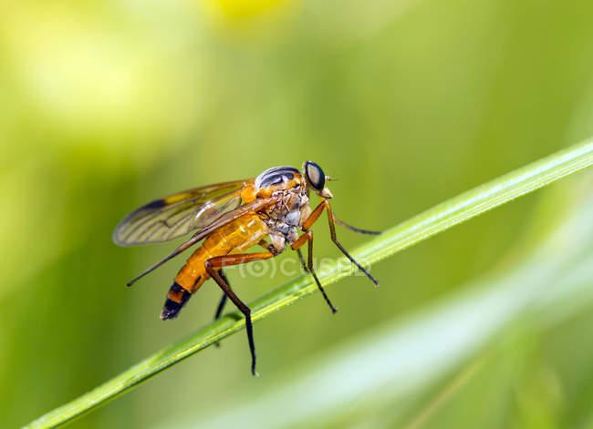 Nahaufnahme eines goldenen gelben Rhagionidae auf dem Blatt — Stockfoto