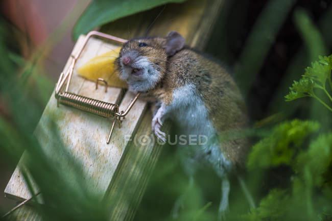 Camuflaje común atrapado en ratonera - foto de stock