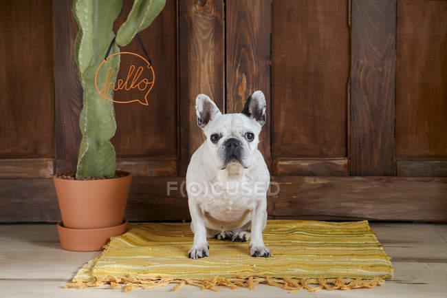 Французский бульдог сидит на ковре — стоковое фото