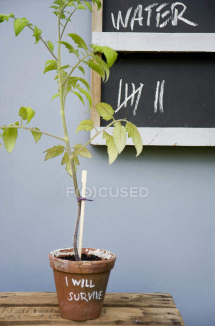 Potted tomato plant with reminder — Stock Photo