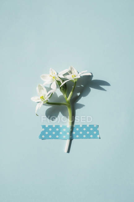 Spring flower fixed with tape — Stock Photo