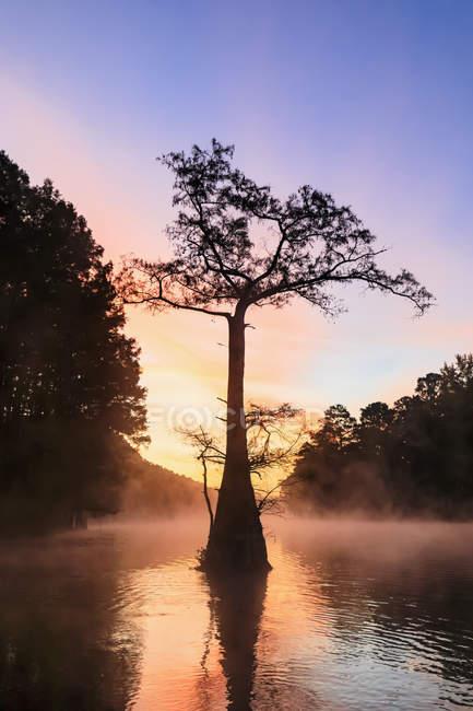 Ліс кипариса лисі при сходом сонця — стокове фото