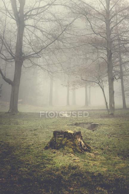 Пень и деревья на туманное утро — стоковое фото