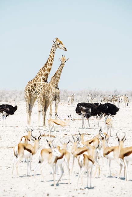 Deux girafes, autruches, springboks et zèbres — Photo de stock