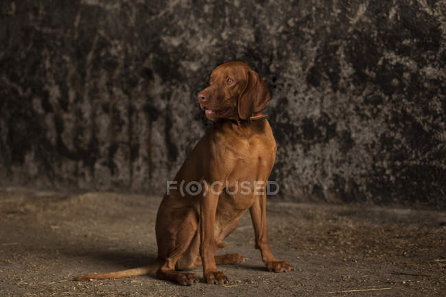 Vizsla dog sitting on ground and looking sideways — Stock Photo