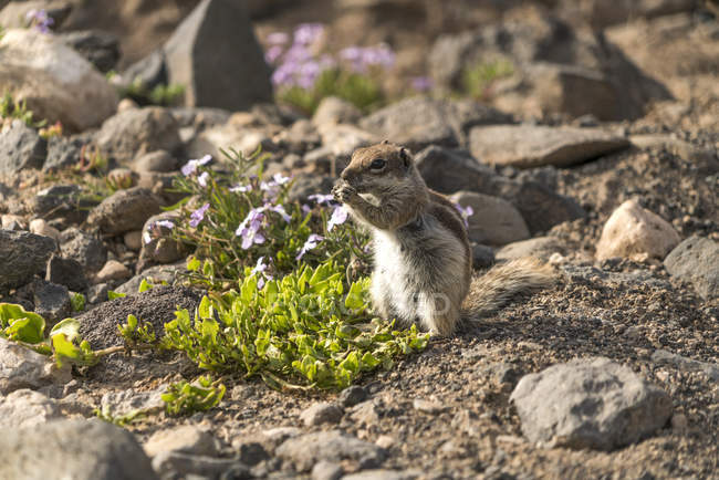 Іспанії Канарських островах Фуертевентура, острову природний парк, Risco-дель-Пасо, піратськими білка мелена — стокове фото