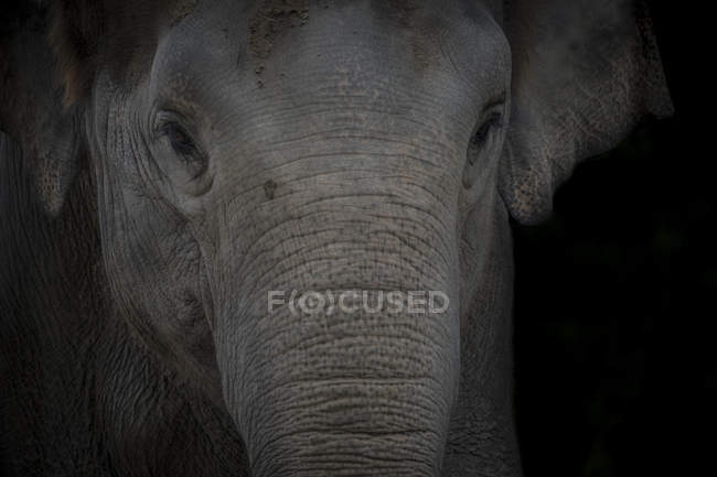Portrait of Asian Elephant in front of black background — Stock Photo