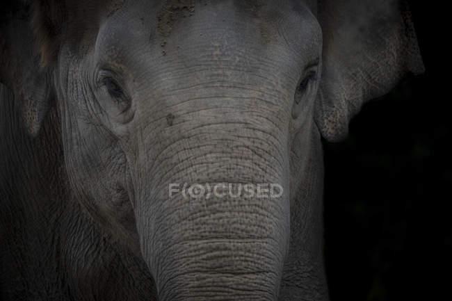 Portrait d'éléphant d'Asie devant fond noir — Photo de stock