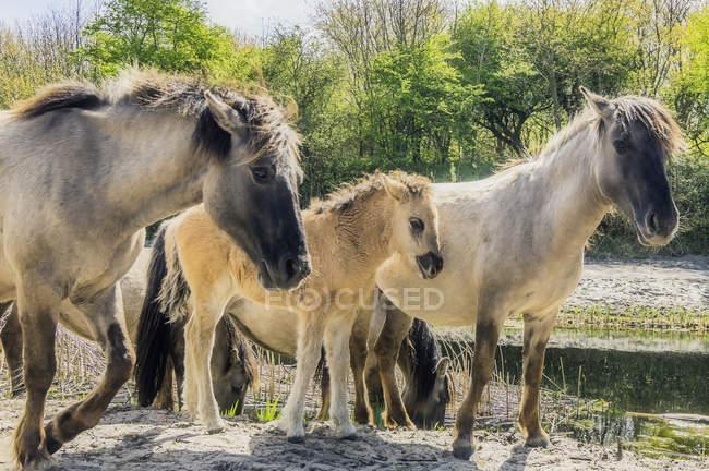 Дикие лошади в природный парк — стоковое фото