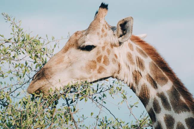 Жираф, едят зеленые листья — стоковое фото
