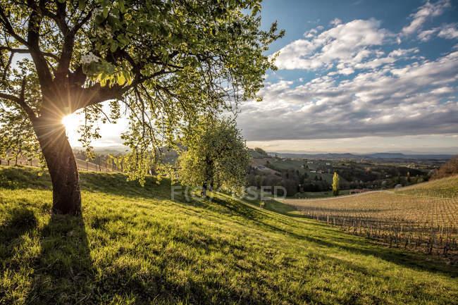 Austria, Estiria, Ratsch an der Weinstrasse, viñedo - foto de stock