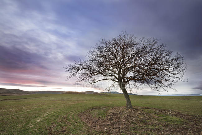 Spain, Burgos, Landscape with a lone tree at dusk — Stock Photo