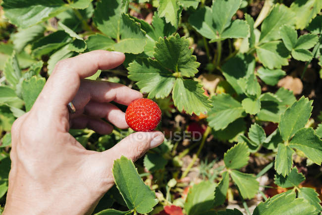 Female hand picking strawberry — Stock Photo