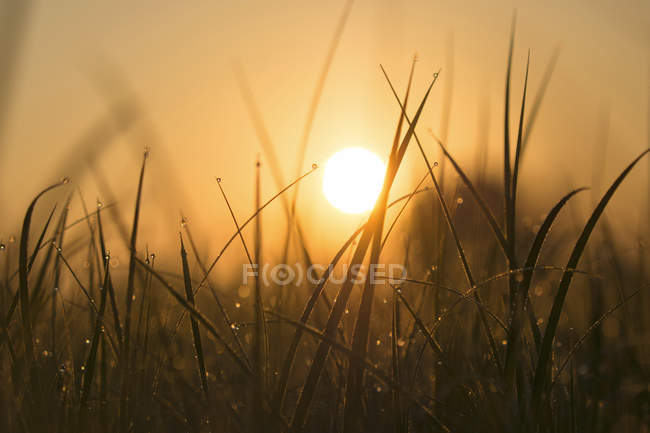 Blades of grass with morning dew at sunrise — Stock Photo