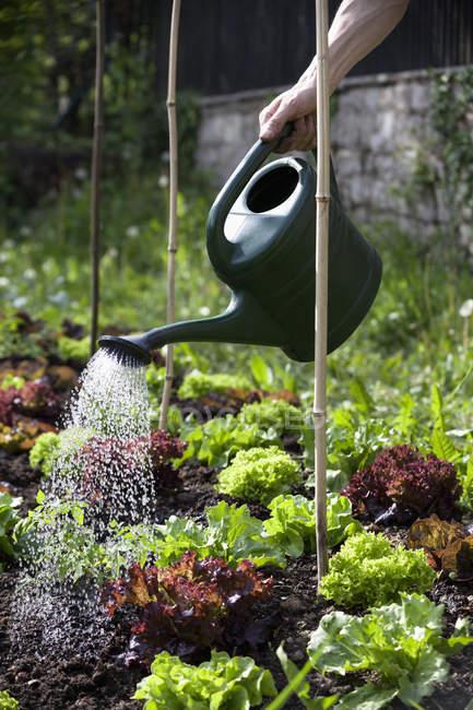 Mano del hombre cabeza de lechuga en el jardín de riego - foto de stock