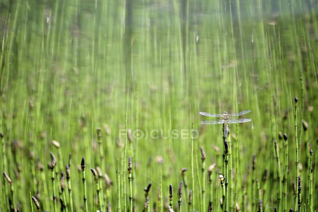Крупным планом Четырёхпятнистая стрекоза в поле — стоковое фото