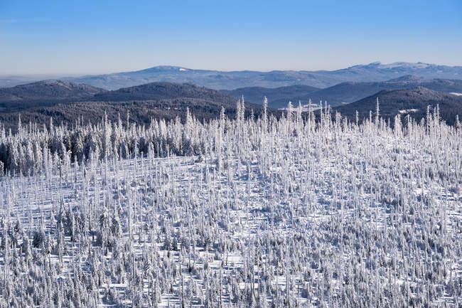 Зимний пейзаж с замороженных елей — стоковое фото