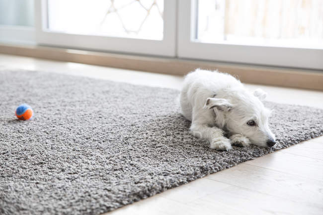 Chien couché sur le tapis — Photo de stock