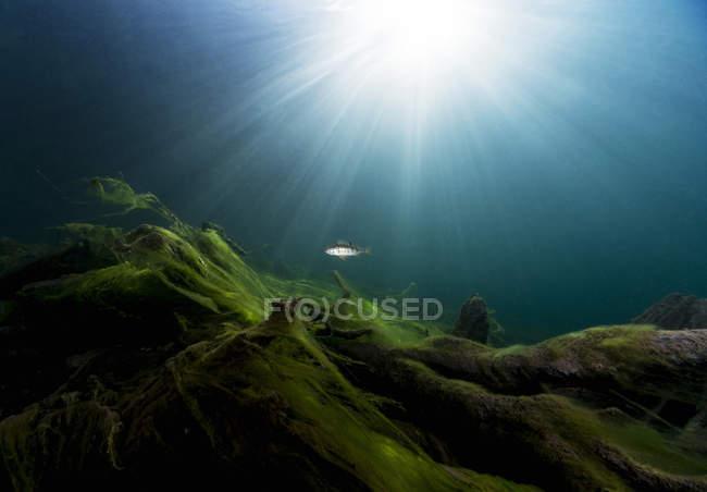 Perche européenne dans le lac Gosausee — Photo de stock