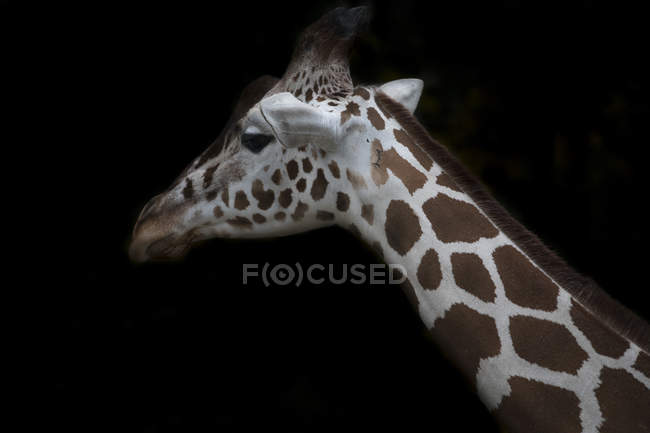 Giraffa reticolata davanti a sfondo nero — Foto stock