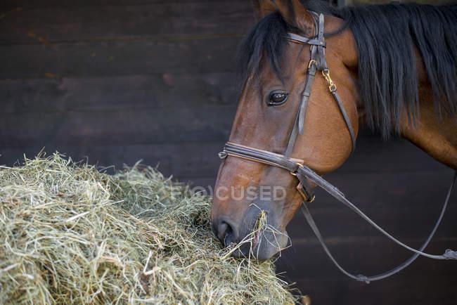 Horse eating hay — Stock Photo
