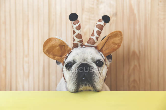 French bulldog with giraffe headband — Stock Photo