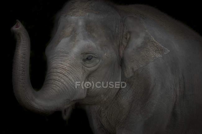 Porträt des asiatischen Elefanten vor schwarzem Hintergrund — Stockfoto