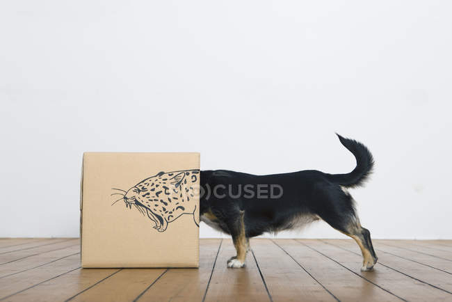 Dog inside cardboard box — Stock Photo