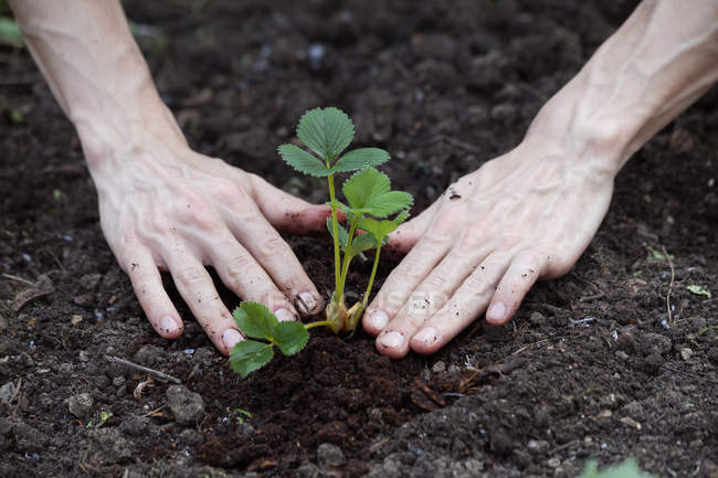 Hands planting strawberry — Stock Photo
