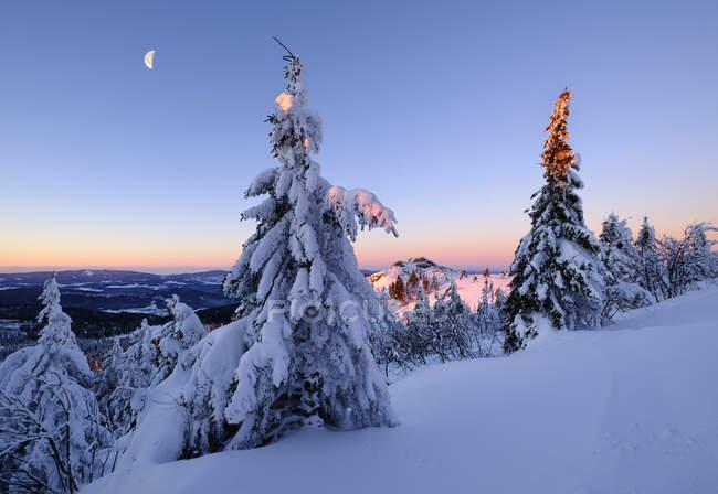 Елей, покрытые снегом — стоковое фото