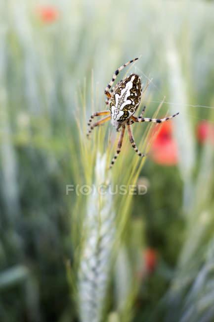 Gros plan de croix araignée en champ de seigle — Photo de stock