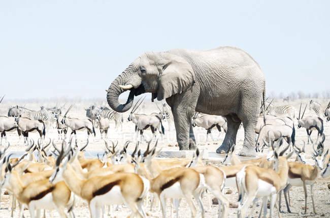 Éléphant entouré de Springboks, Oryx et Zèbres — Photo de stock