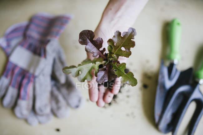 Hand holding lettuce — Stock Photo