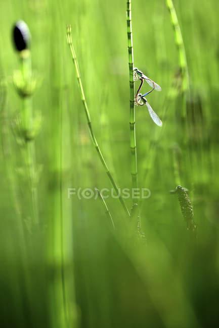 Emerald Damselflies emparelhado e no processo de postura de ovos — Fotografia de Stock