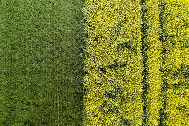 Campi di colza, Baviera — Foto stock