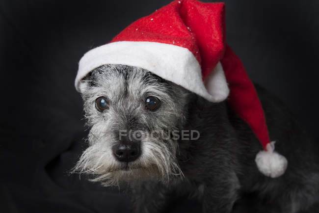 Cute dog in santas hat — Stock Photo