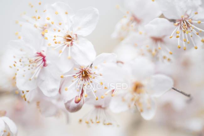 Білі ніжні розквітає, великим планом — стокове фото