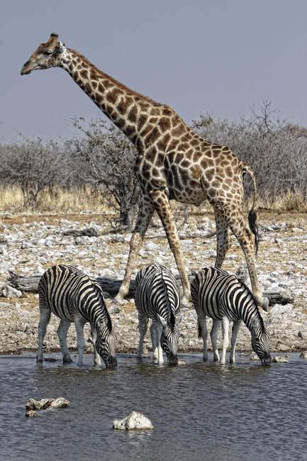 Giraffen und Zebras an einem Wasserloch trinkend. Etoscha-Nationalpark, Namibia — Stockfoto