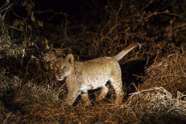 Lion cub in natural habitat, night shot — Stock Photo