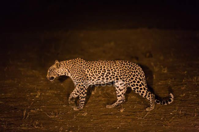 Леопарда (Panthera pardus) ходить в ночь, Африка, Ботсвана — стоковое фото
