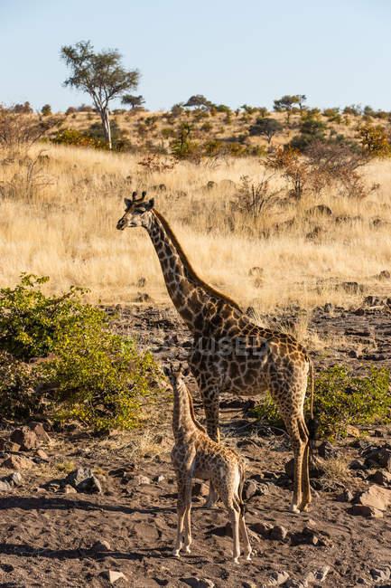 Botswana, Tuli Block, giraffa in piedi di vitello in natura — Foto stock