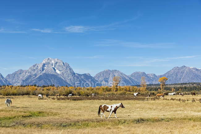 USA, Wyoming, Rocky Mountains, Grand Teton National Park, Mustangs — Stock Photo