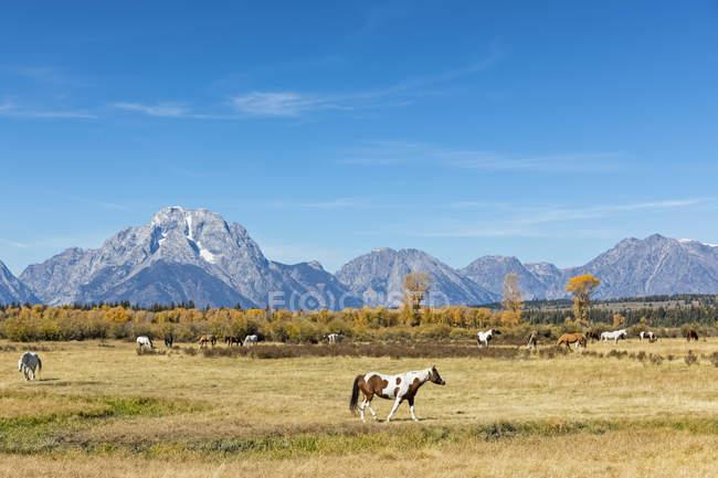 USA, Wyoming, Rocky Mountains, Grand Teton National Park, Mustangs — Stock Photo