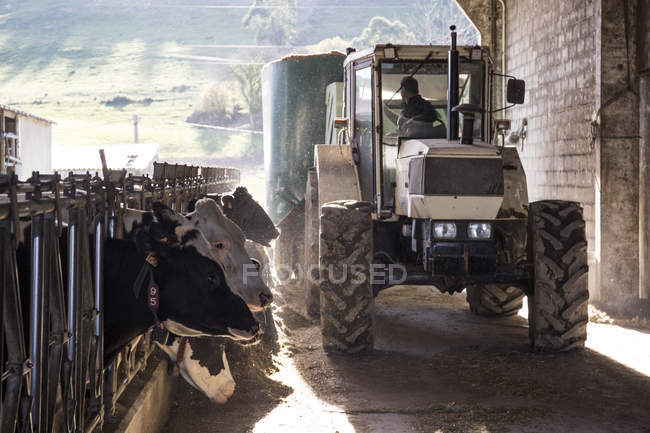 Трактора заливка корми для корів на фермі — стокове фото