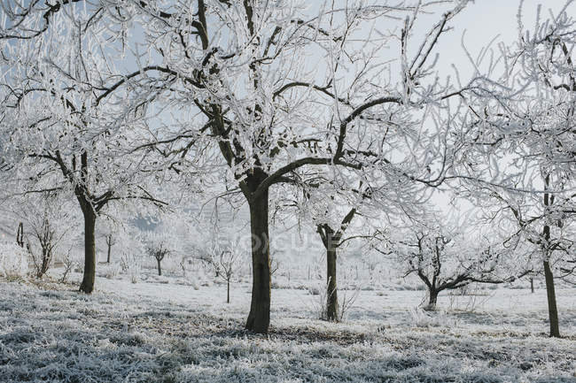 Trees in winter with snow on twigs during daytime — Stock Photo